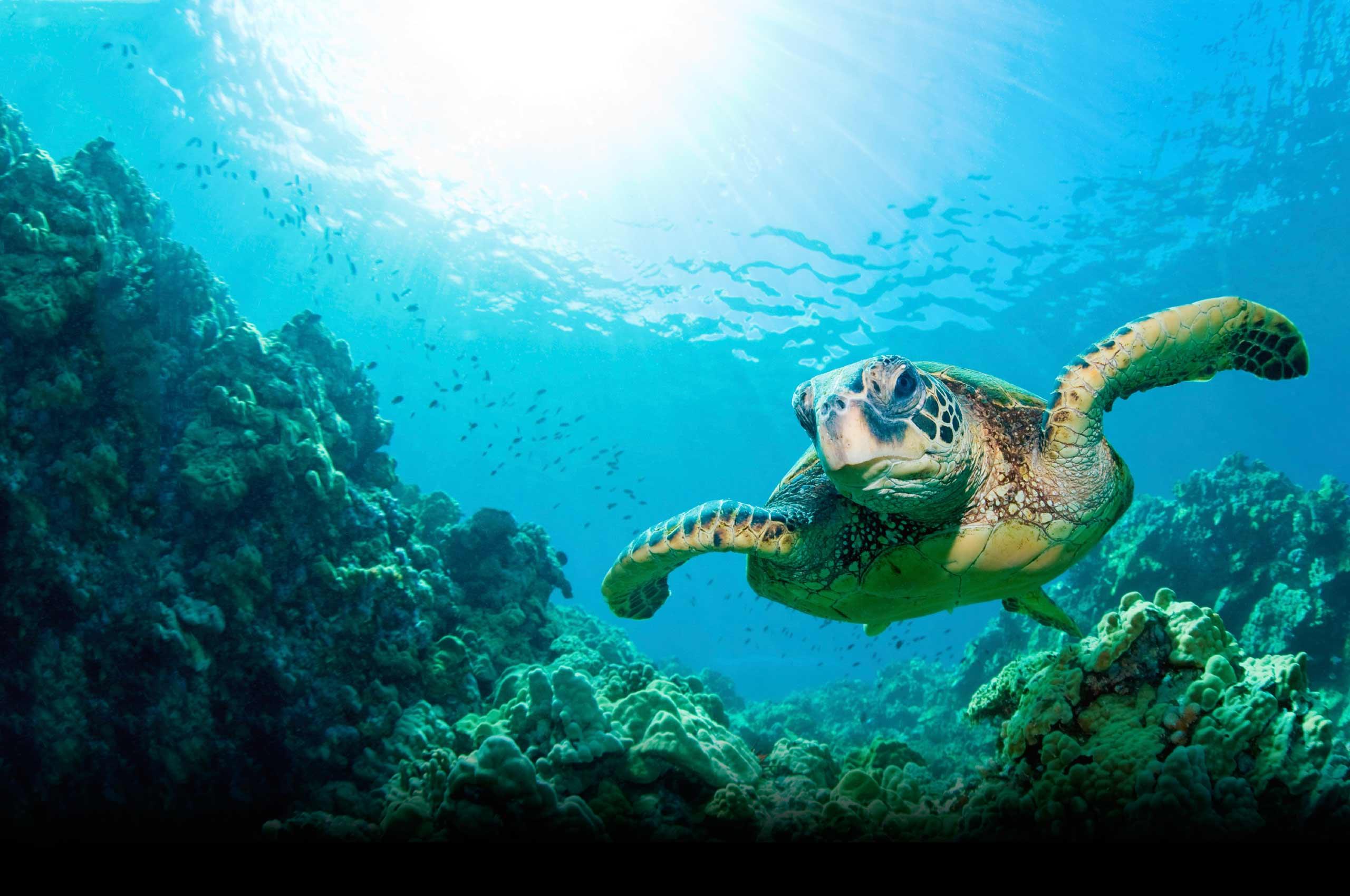 Зелена морська черепаха плаває в океані