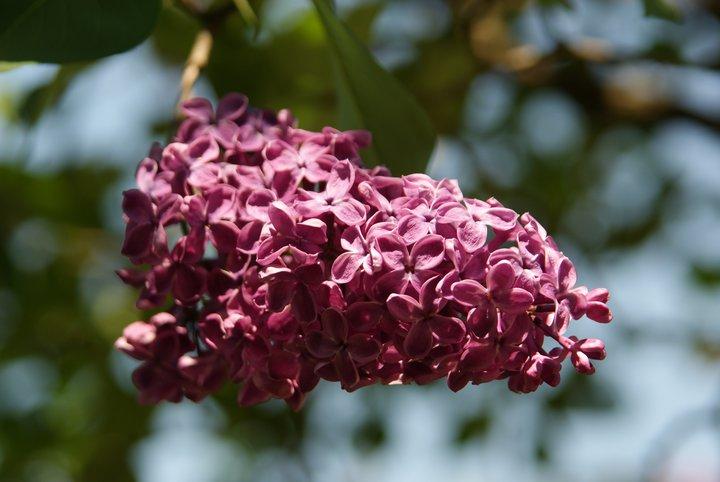 Бузок цвіте