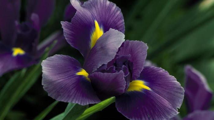 irisi4.jpeg (26.87 Kb)