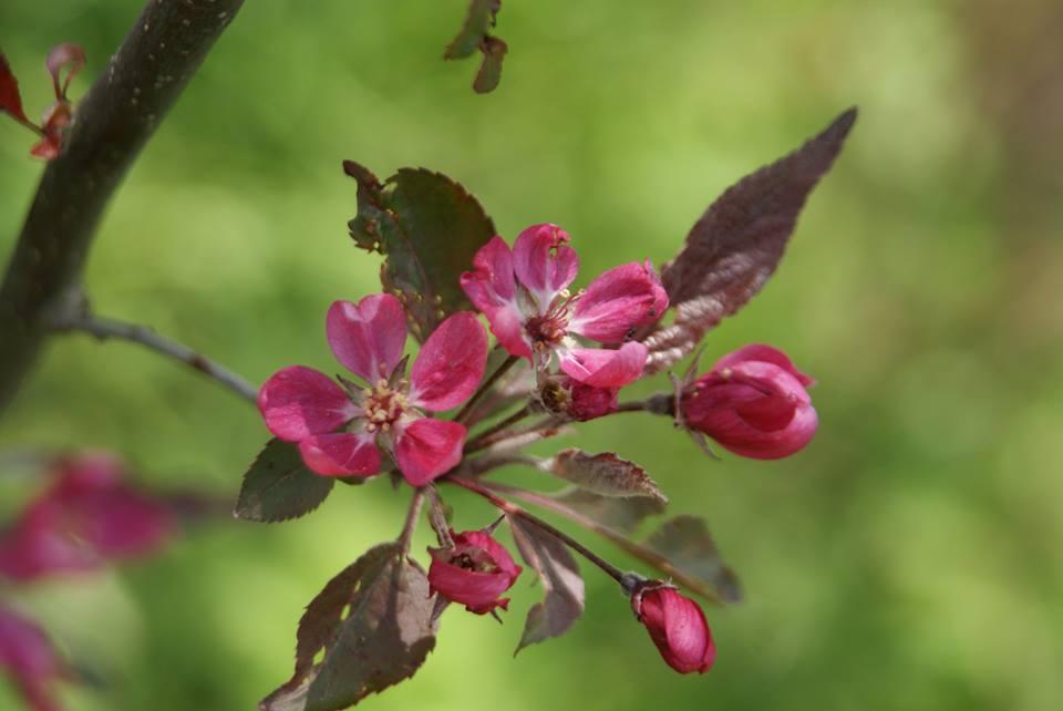Райська яблуня