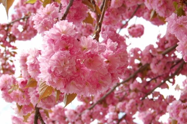 sakura.jpg (87.58 Kb)