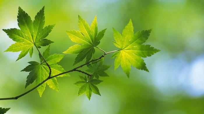 Зелені гілки дерев, якими на Зелені свята українці прикрашають домівки